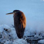 Heron sits on ice at one of the wetlands at Pickerington Ponds