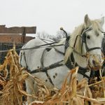 Horses and wagon in the corn fields at Slate Run Living Historical Farm, as staff collect corn for animal feed
