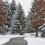 Snowy scene of pines on the Sweetgum Trail at Walnut Woods Metro Park