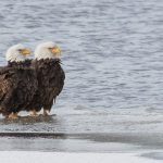 Eagles stand together on ice at edge of wetland