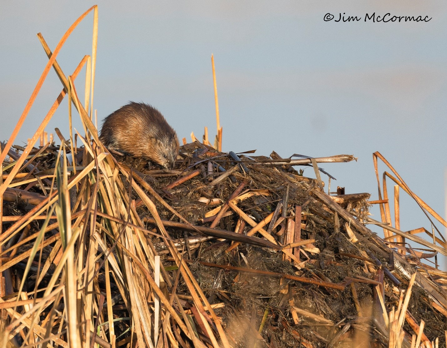 A muskrat atop its conical lodge in the marsh prairie at Battelle Darby Creek.