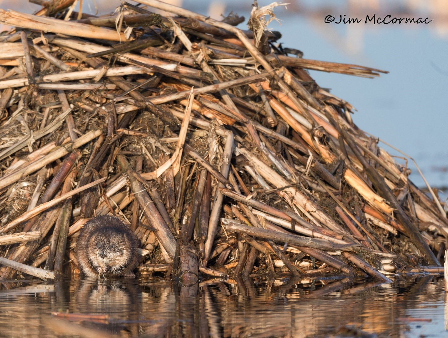 A muskrat takes a well-earned break, chewing on a cattail tuber at the base of his gargantuan lodge.