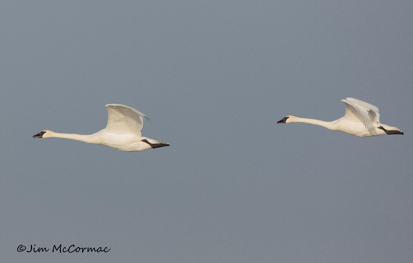 Two trumpeter swans fly over the prairie marsh at Battelle Darby Creek Metro Park.