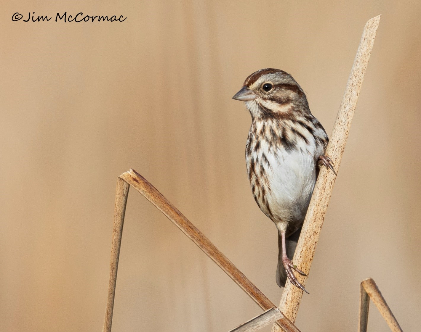 A song sparrow perches on a reed in the prairie marsh at Battelle Darby Creek Metro Park