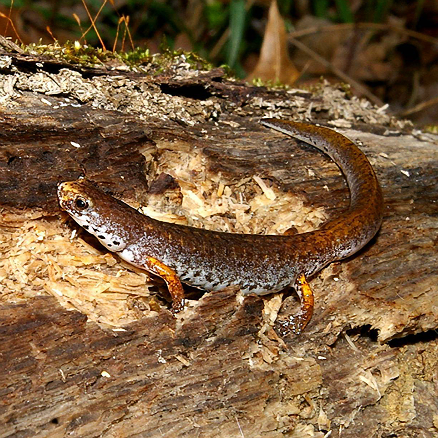 Four-toed salamander moves along the forest floor in the Clear Creek valley.