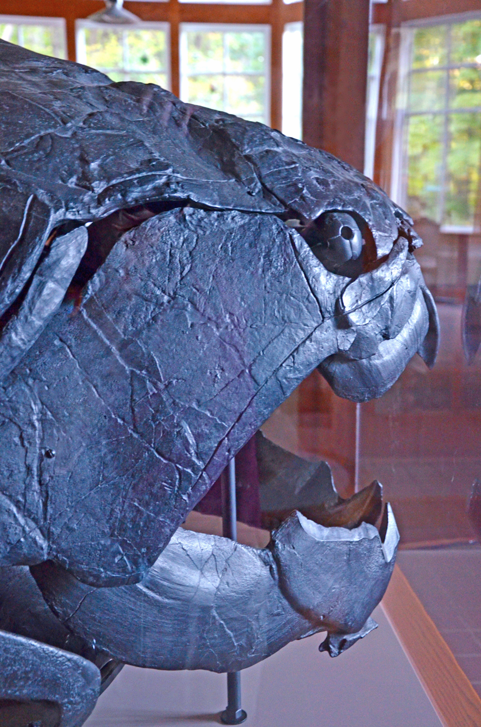 Replica of skiull of Dunkleosteus, a giant ancient fish, at Highbanks Nature Center