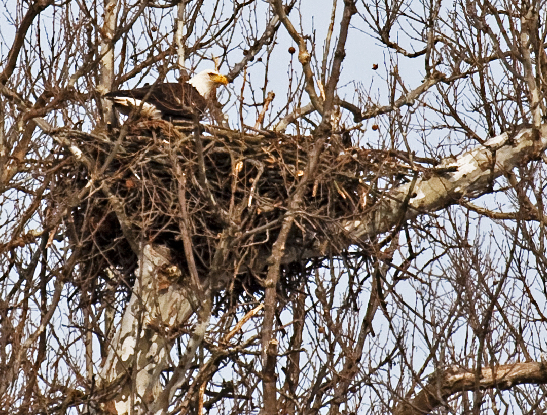 A bald eagle sits on the nest atop a huge sycamore tree at Highbanks