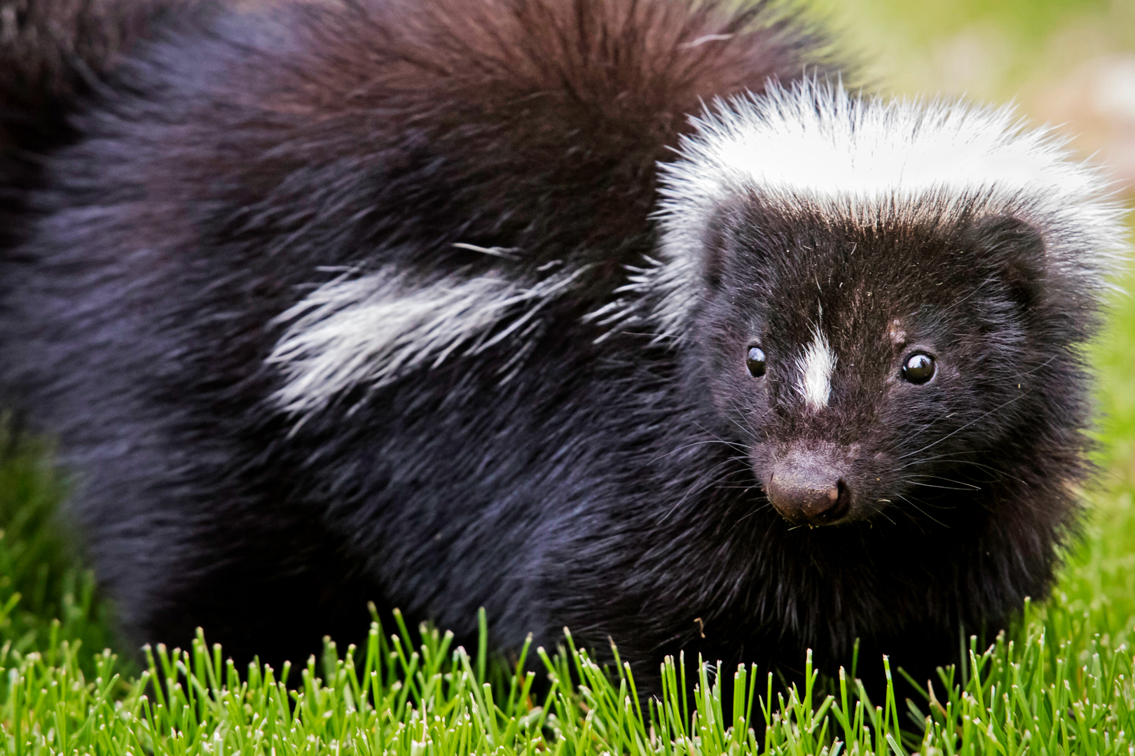 A young skunk in a park field