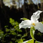 Large-flowered trillium in woods at Battelle Darby Creek