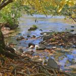 Exposed tree roots alongside Big Darby Creek in Battelle Darby Creek