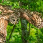 Barred owl in flight through the woods at Blacklick Woods
