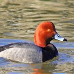 Red-headed duck on Thoreau Lake at Blendon Woods
