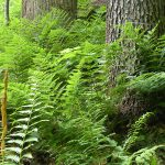 Ferns in the woods at Clear Creek