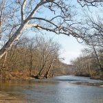 Large sycamores on the banks of the Olentangy River in Highbanks Metro Park