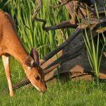 Deer in wetland area at Prairie Oaks