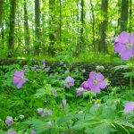 Wild geranium in the woods at Sharon Woods