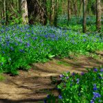 Bluebells carpet either side of the Bluebell Trail through the woods at Three Creeks Metro Park