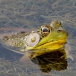 Bullfrog in wetland pond at Walnut Woods Metro Park