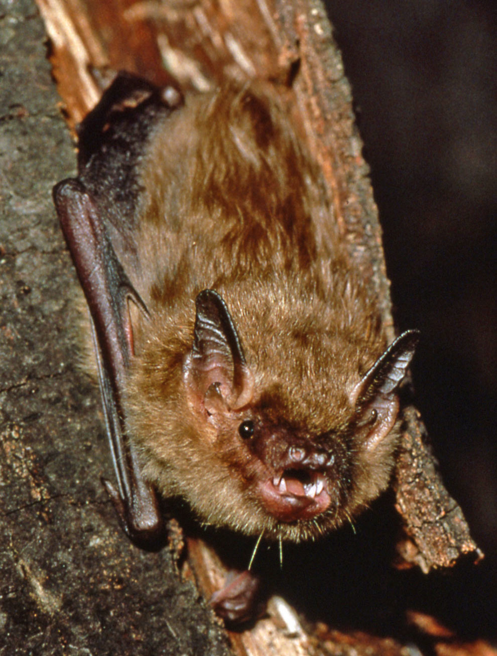 Close up photo of a big brown bat