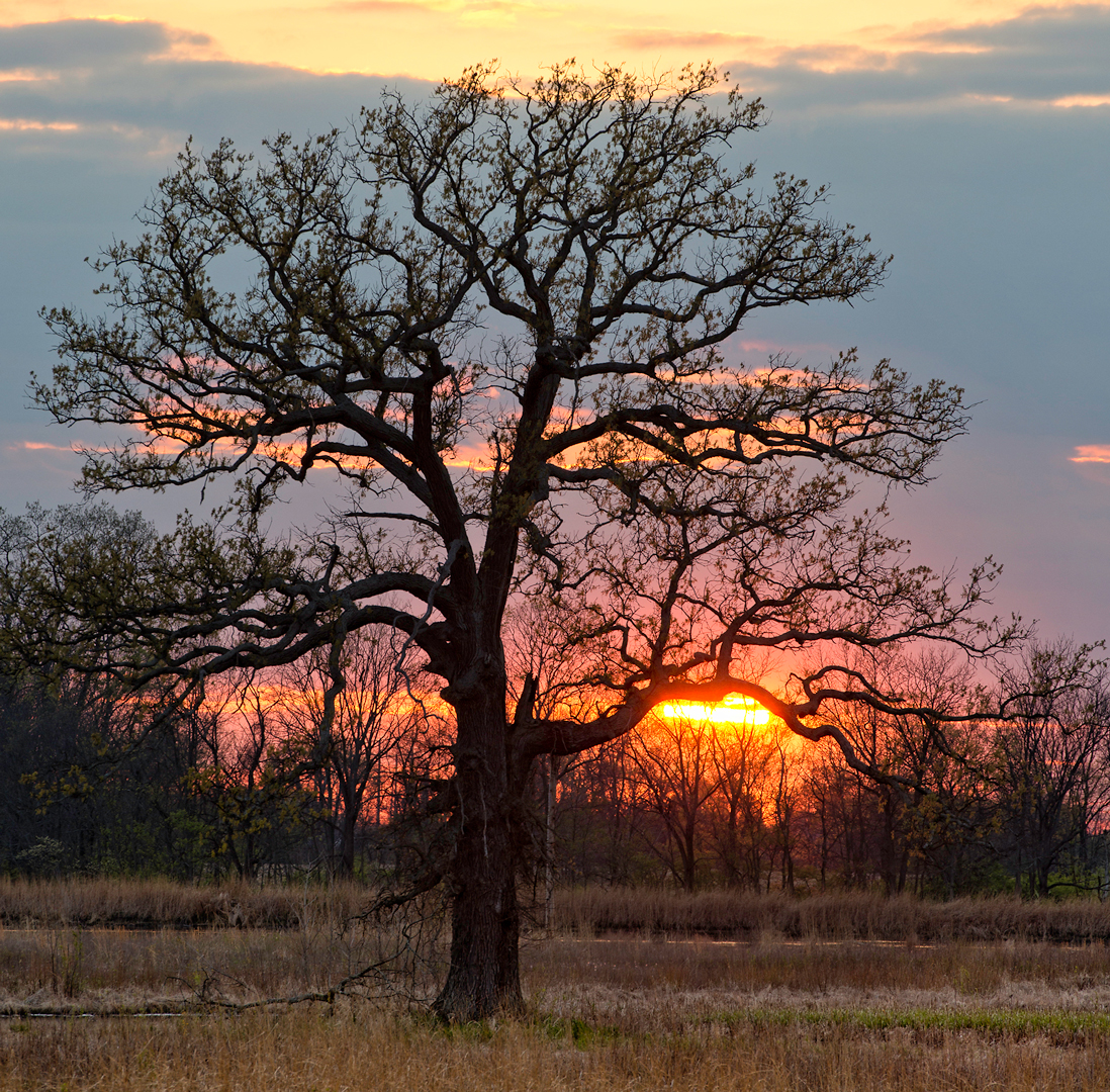 A large swamp oak at sunset in Pickerington Ponds Metro Park
