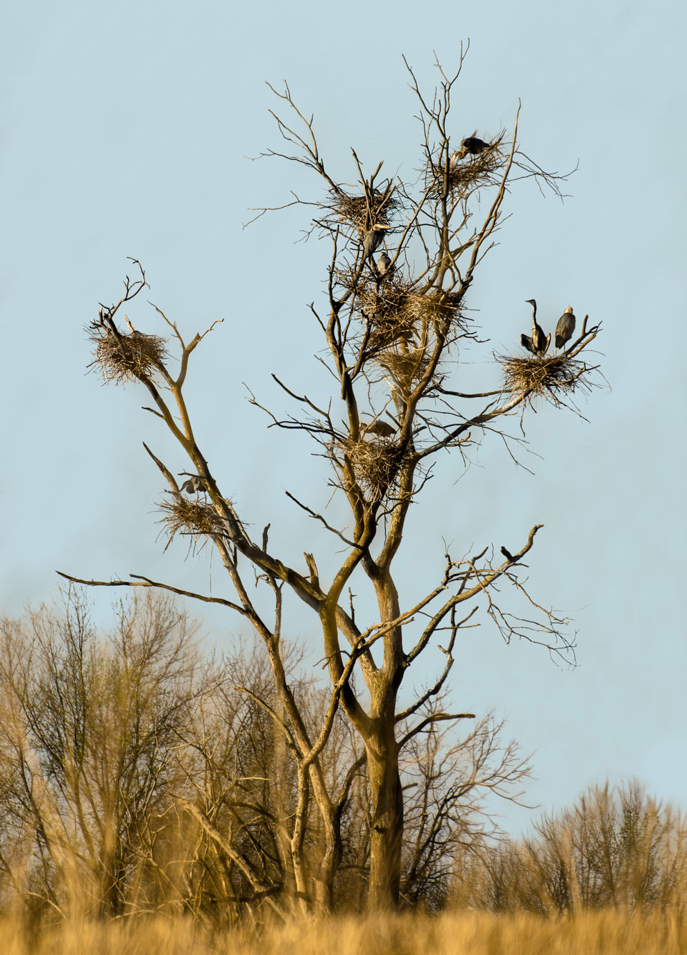 Great blue herons nest in a rookery at Pickerington Ponds Metro Park