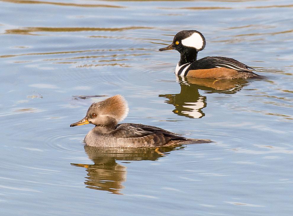 A male and female hooded mergansers take a dwim on Blendon Woods' Thoreau Lake