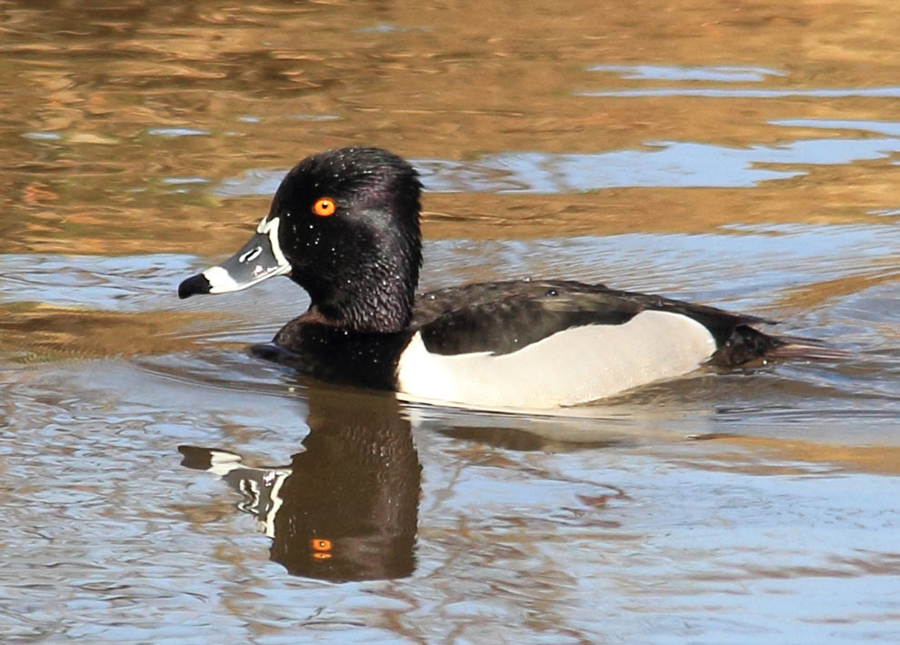 A ring-necked duck on Thoreau Lake at Blenndn Woods