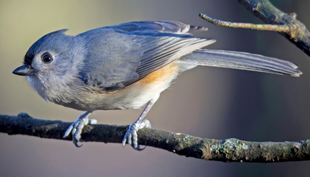 A tufted titmouse on a branch at Blacklick Woods Metro Park.