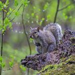 A gray squirrel at Blacklick Woods with spring leaf out