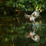 Barred owl fishing on Ashton Pond at Blacklick Woods