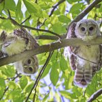 Baby barred owls peer down from their roost in a tree at Blacklick Woods