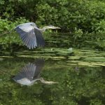 A great blue heron flies majestically across Ashton Pond at Blacklick Woods