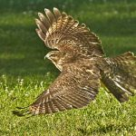 A red-shouldered hawk in flight at Blacklick Woods