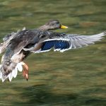Mallard flies over Thoreau Lake at Blendon Woods