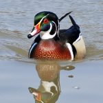 Wood duck on Thoreau Lake at Blendon Woods