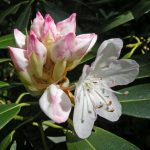 Big-leafed rhododendron at Clear Creek