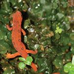 Red eft crawls through spring vegetation