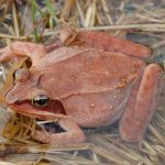 Female wood frog at Clear Creek