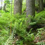 Cinnamon ferns at Clear Creek