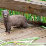 Mink on the boardwalk at Glacier Ridge wetlands