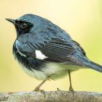 Black-throated blue warbler at Highbanks