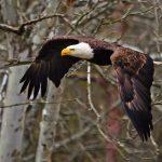 Eagle flies through the trees at Highbanks