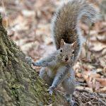 Gray squirrel at Highbanks