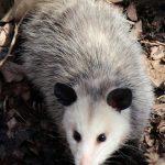 Opossum in woods at Highbanks