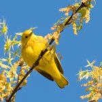 Yellow warbler at Highbanks