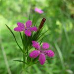 Deptford pinks in bloom at Highbanks
