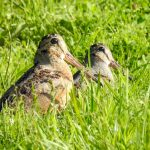 A pair of woodcocks in a field at Highbanks