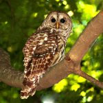 Barred owl at Inniswood