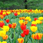 Red and yellow tulips at Inniswood