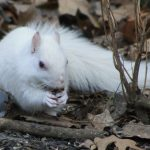 Albino squirrel with nut in the woods at Inniswood